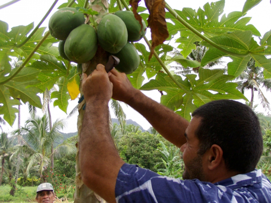 Pawpaw cooperative on the cards for Rarotonga growers
