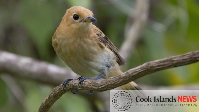 Recovery of the Kakerori – rare bird overcomes threat of extinction