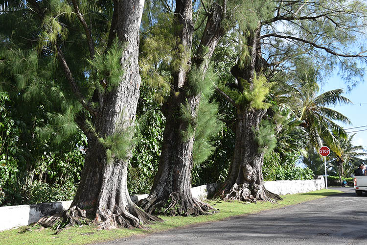 Protests halt removal of giant toa trees