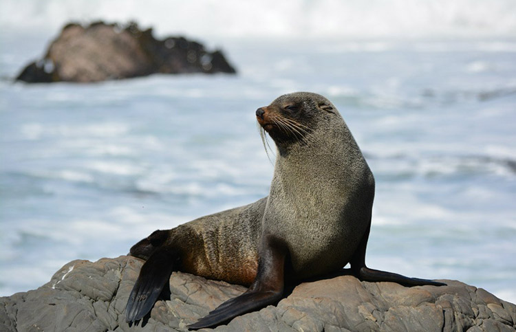 Rare visit from New Zealand fur seal